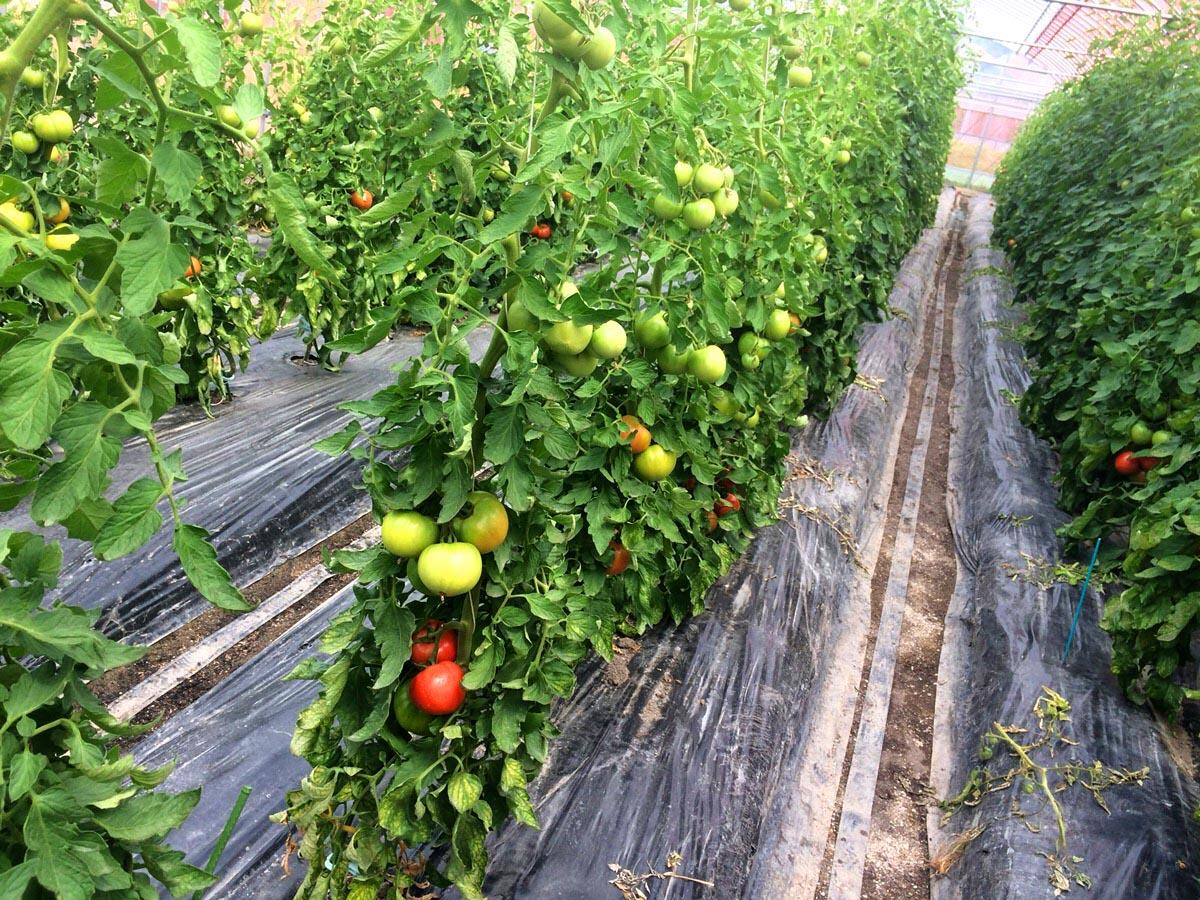 大矢農産さま なごみトマト畑